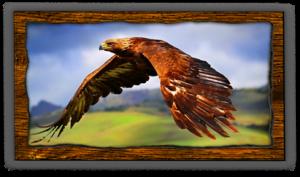 redtail-hawk-fvwd