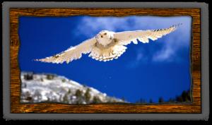 snowy-owl-fvwd