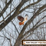 red tailed hawk in wisconsin, door county website designers, wisconsin web developers, appleton web developers, american web developers, green bay web developers, wi web design, fox valley wisconsin, wi seo company