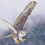 wisconsin snowy owl, winter owl, green bay graphic designers, wisconsin graphic designers, appleton graphic designers, web consultants wi, wi commercial photographers, Professional drone aerial photos