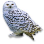 snowy owl, wisconsin snowy owls,fox valley web design,fvwd,appleton web design, green bay web developers, wisconsin website designers, social media marketing, uav pilot, web designers near me, branding, designer, hosting, web hosting, real estate photographers