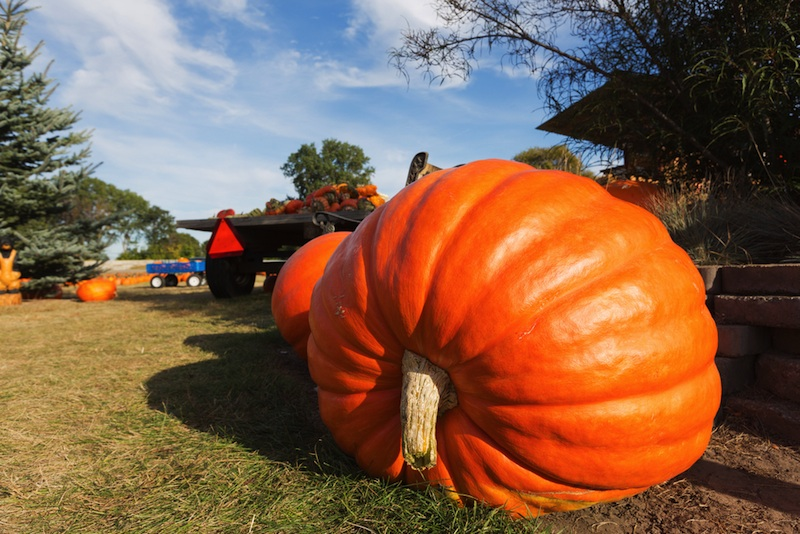 Giant Pumpkins,happy halloween from Fox Valley Web Design,wisconsin website designers