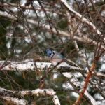 blue jay, fox valley web design, fvwd, winter wi native birds, green bay, wisconsin