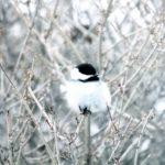 chickadee, fox valley web design, fvwd, winter wi native birds, green bay, wisconsin