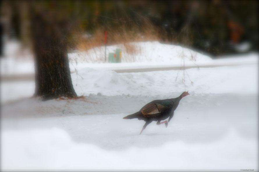 wild turkey, fox valley web design, fvwd, winter wi native birds, green bay, wisconsin